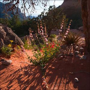 Wildflowers along Schnebly Hill Rd., Sedona, Arizona