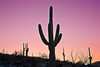 Arizona, Organ Pipe Cactus National Monument, Sunset Landscape,亚利桑那, 巨仙人掌谷国家遗迹 沙漠, 风景