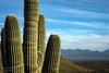 Peridot Mesa Saguaro