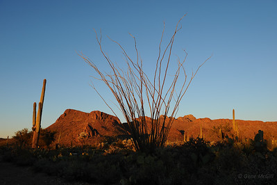 Ocotillo, Saguaro National Park, Arizona
