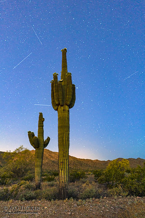 Saguaro Blooms Reaching For The Stars