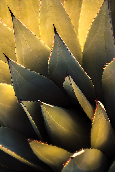 Agave at Sunrise