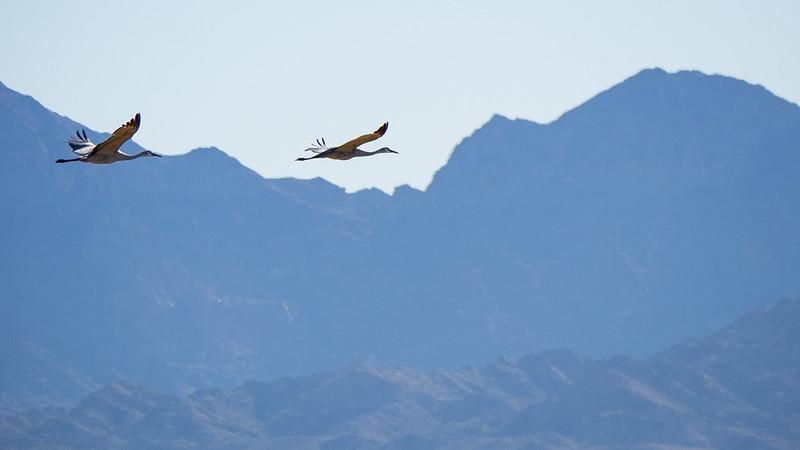 Sandhill cranes flight