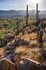 sunset and saguaros