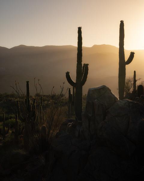 Canyon Saguaros