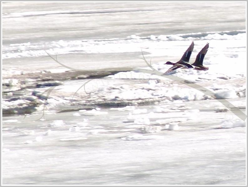 Mallard Mates in Flight near the North Saskatchewan River, Edmonton