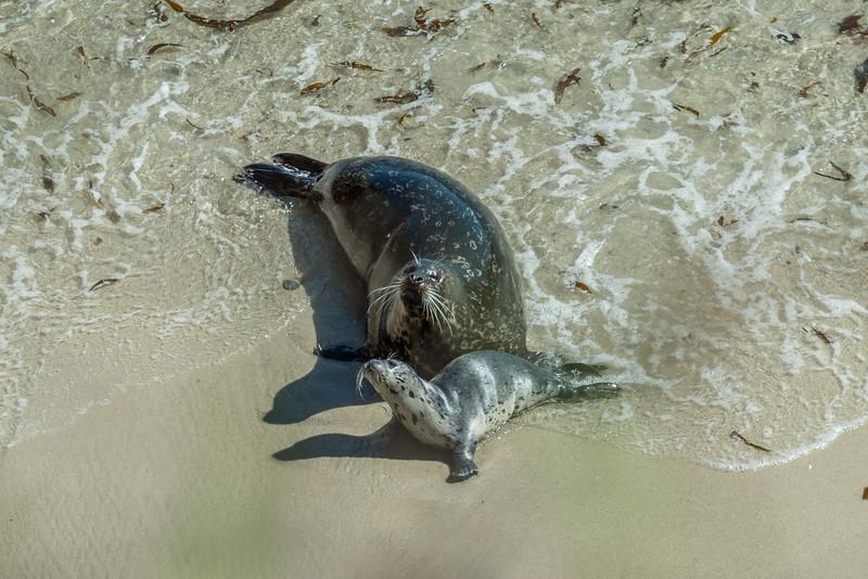 Harbor Seals,  Point Lobos