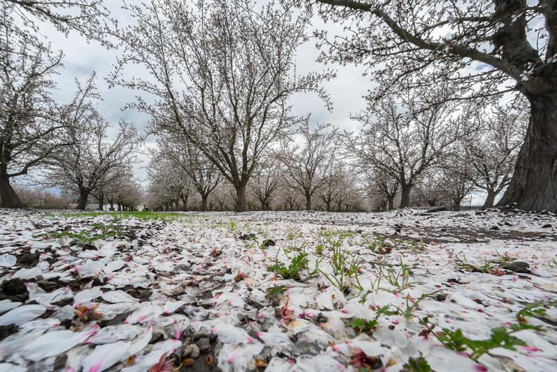 fallen blossoms, Yuba County orchard