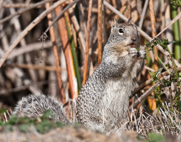 Squirrel, Sacramento NWR