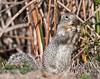 Squirrel, Sacramento NWR