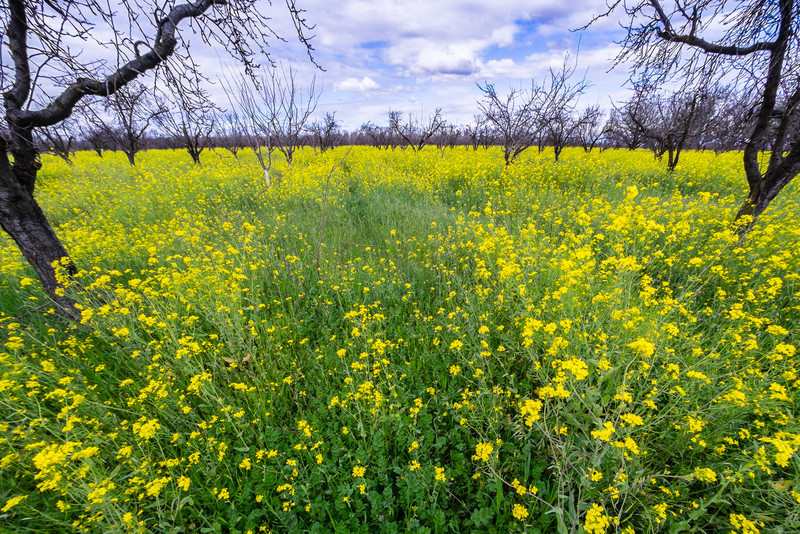 early spring flowers, Yuba County orchard