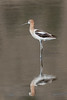 American Avocet, Black Lake