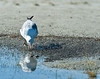 Gull feeding on brine flies, Mono lake shoreline