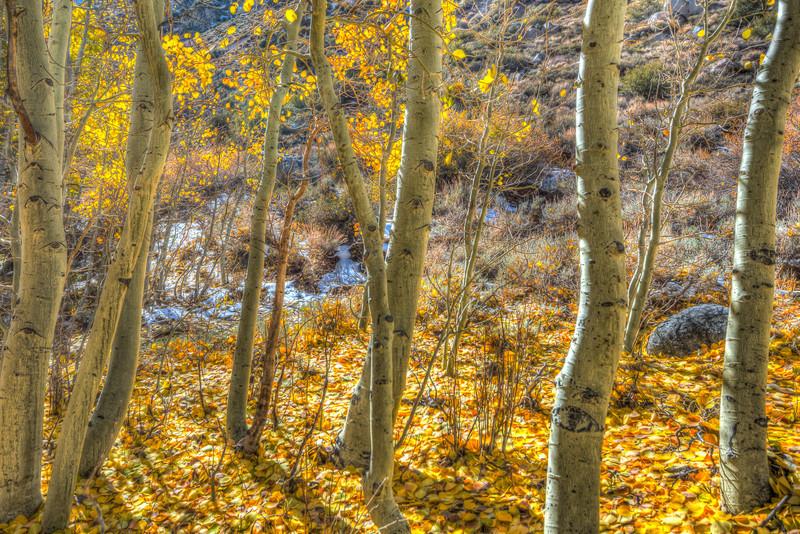 aspens in Bishop Canyon