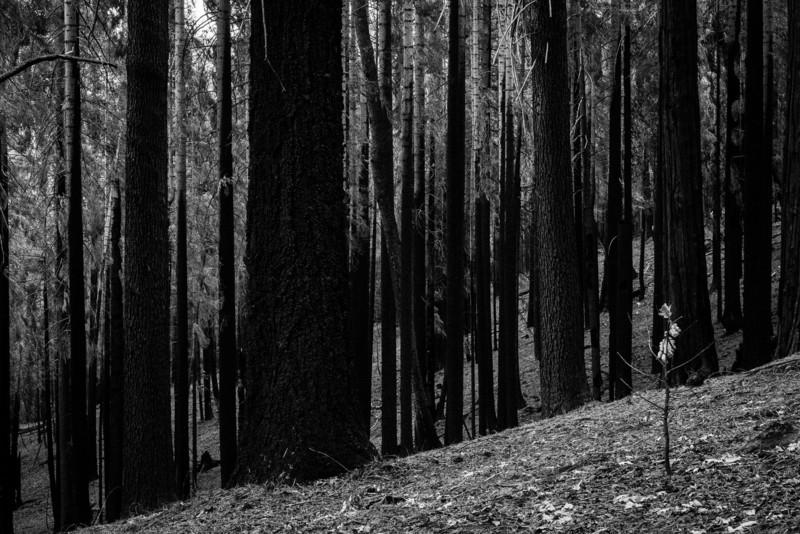 The Rim fire, north boundary of Yosemite February 2014
