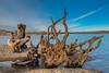 Driftwood, Folsom Lake