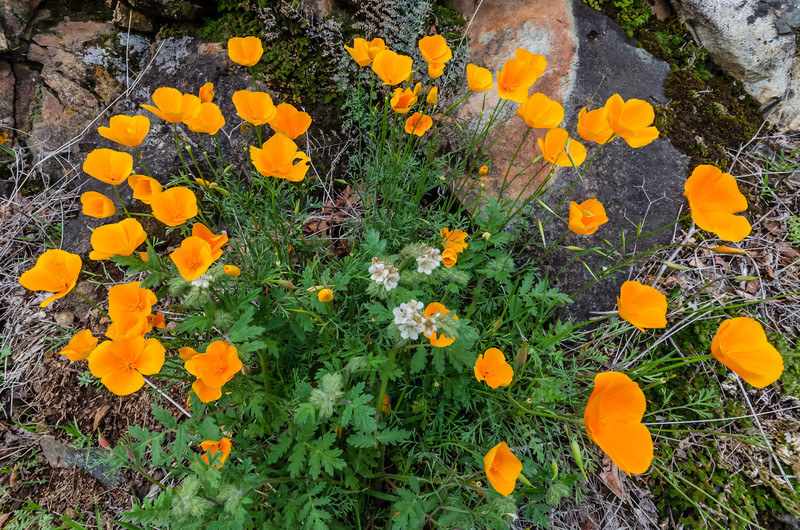 early poppies on the Buttermilk trail