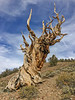 Schulman Grove, Ancient Bristlecone Forest