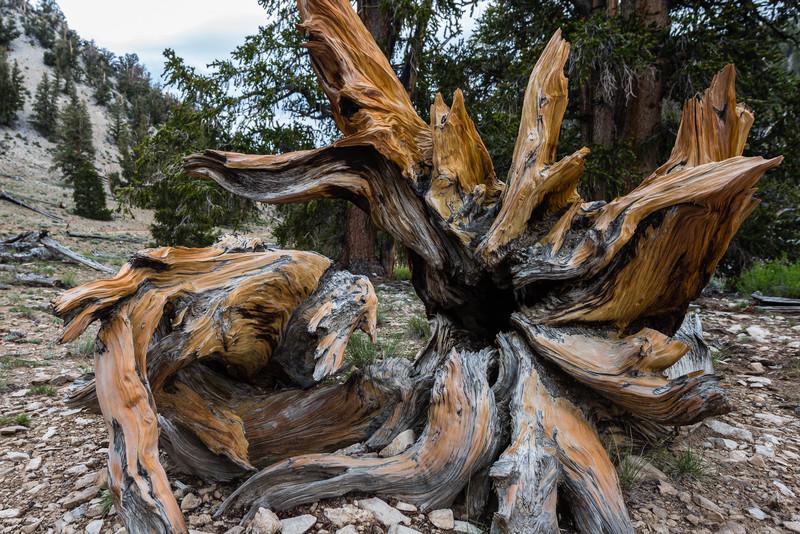 The Ancient Bristlecone Pine Forest, Schulman Grove, White Mt.