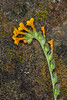 Fiddleneck and lichen