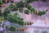 Bristlecone Pine Branches