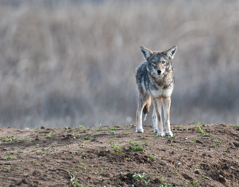 Coyote, Sacramento National Wildlife Refuge