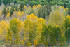 Fall aspens at Conway Summit