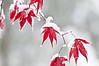 First snowfall and japanese maples, November