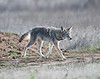 Coyote, Sacramento NWR