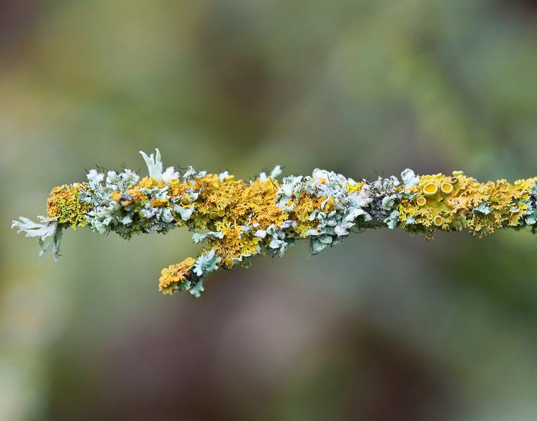 Winter lichen, Cosumnes Nature Conservancy Preserve
