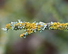 Winter lichen, Cosumnes Nature Conservancy Preserve