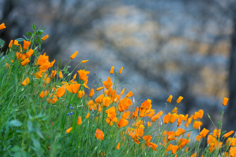 California poppies, Electra Road
