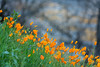 California poppies, Electra Road