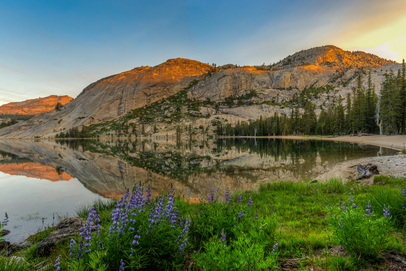 Tenaya Lake sunrise and lupines