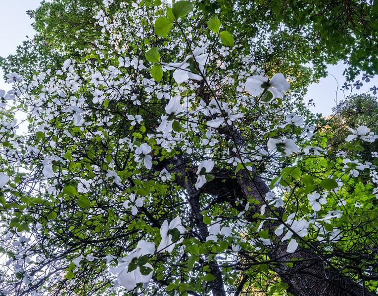 Dogwood blossoms, Pasquale Road