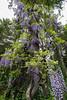 Old wisteria vine