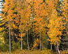 Plumas County aspen grove