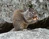 Ground squirrel, Yosemite