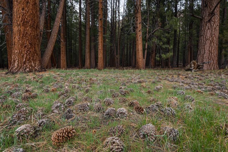Jeffrey Pines and Cones, eastern Sierra