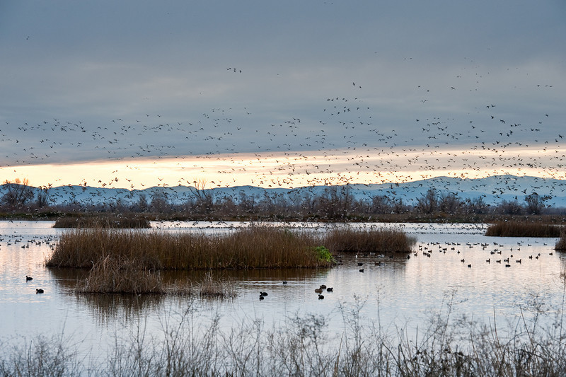 Winter bird migration, Gray Lodge Wildlife Refuge