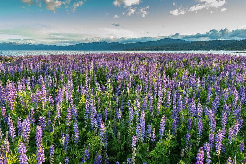 Lupine Field at Lake Tahoe during a low water year