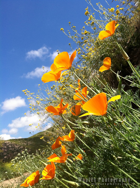 California Poppy and Sky at Mount Woodson