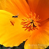 Native Bees on a California Poppy
