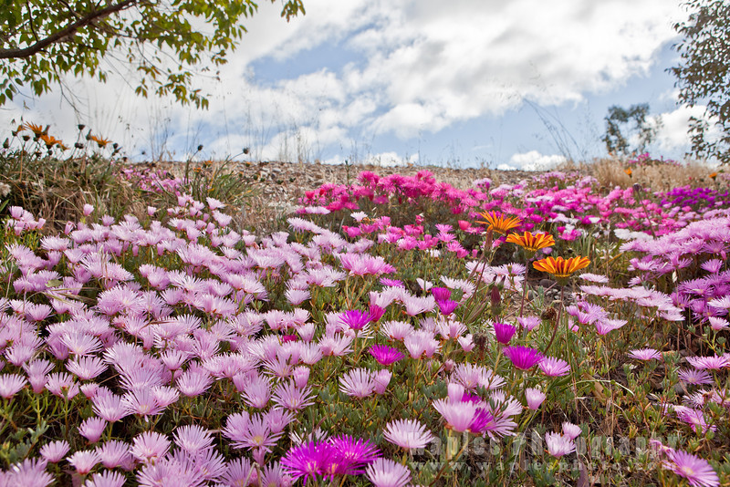 Ice Plants, Daisies, and Sky