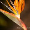 Flower of Strelitzia reginae