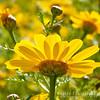 Close-up, Desert Sunflower