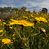 Desert Sunflower and bud