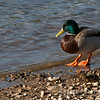 Male Mallard and Duckling