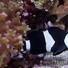Clownfish, melanistic