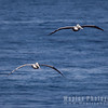 Pelicans on Approach